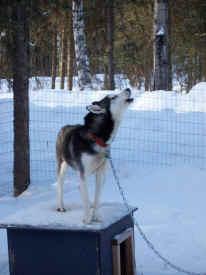 doghowl.jpg (50976 bytes)
