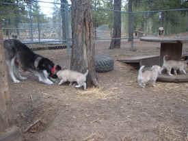 pups 'helping' Mom.JPG (193225 bytes)