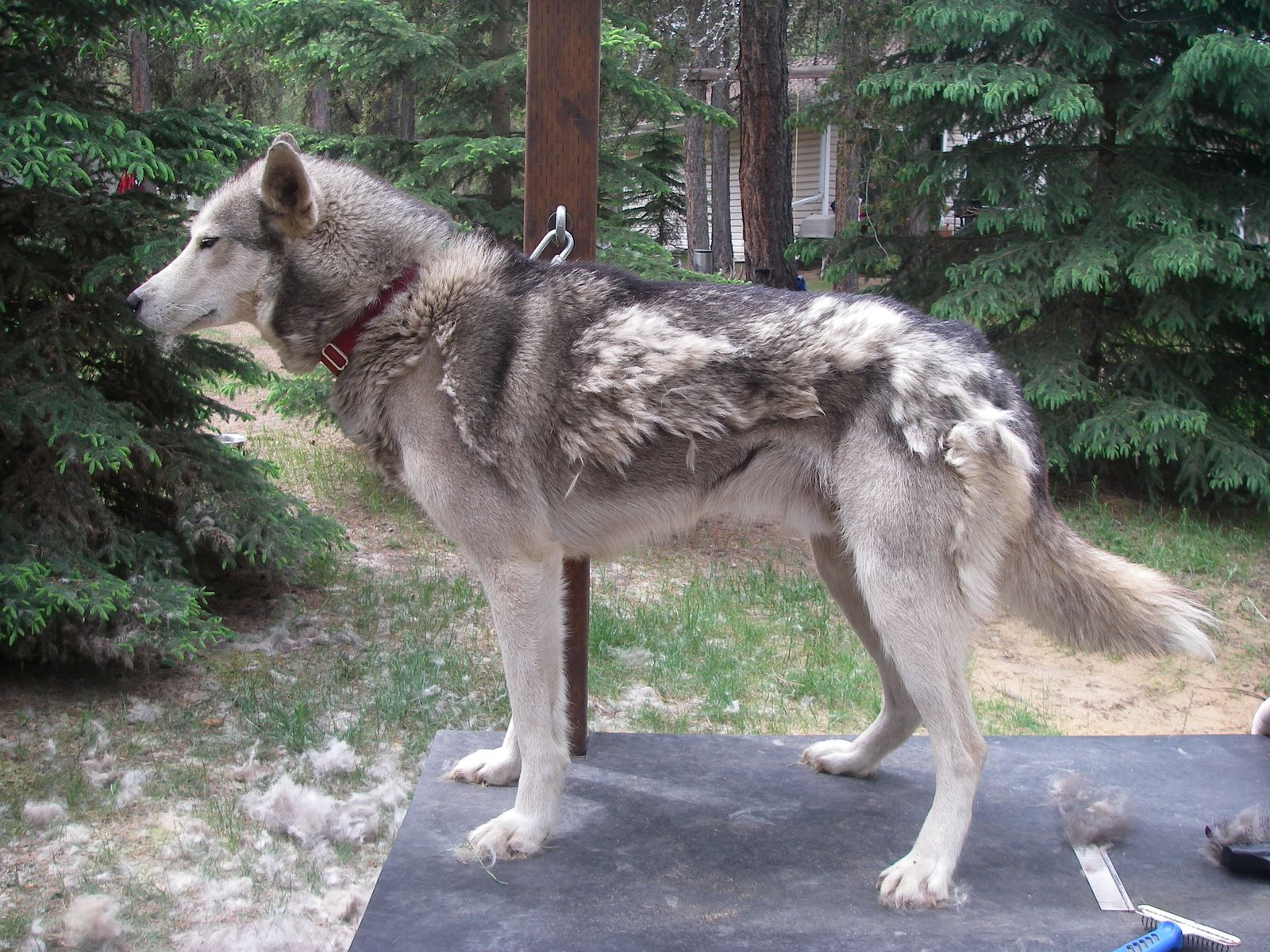 how to cut down on husky shedding