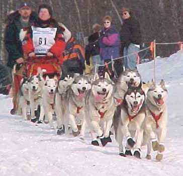 Home of the Pretty Sled Dog - AKC Champion Siberian Huskies AND Quality Sled Dogs - Iditarod 2000 Race ReStart picture