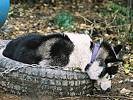 Chester curled up in a tire
