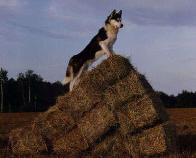 North Wapiti Iditarod 2000 Sponsor A Dog Page