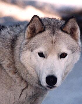 North Wapiti Iditarod 2000 - Sponsor-A-Dog Page