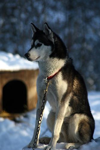 NorthWapiti's Togo At Kelim - NorthWapiti Siberian Husky